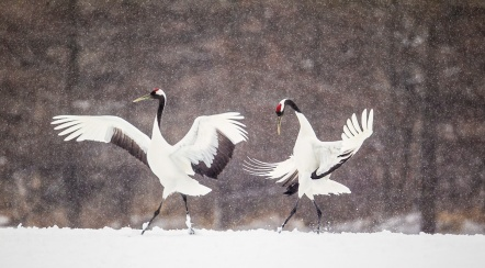 red-crowned-crane-from-hokkaido-06